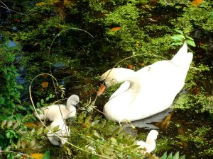 Swans of Airlie Gardens